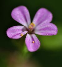Geranium lucidum