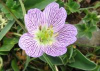 Geranium cinereum subsp. cinereum