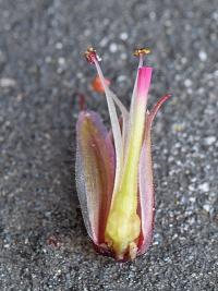 Geranium robertianum subsp. purpureum