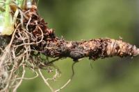 Geranium sylvaticum subsp. sylvaticum