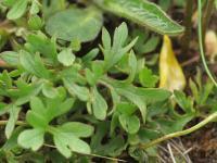 Ranunculus ollissiponensis