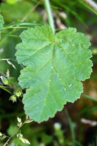 Erodium malacoides