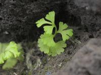 Anogramma leptophylla