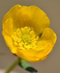 Ranunculus carinthiacus