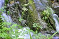 Chaerophyllum hirsutum