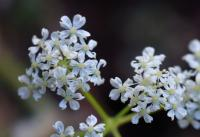 Conopodium pyrenaeum