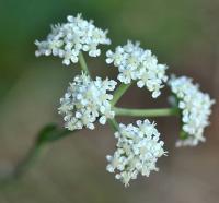 Seseli montanum subsp. montanum