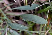 Bupleurum falcatum subsp. falcatum