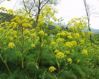 Ferula communis subsp. communis