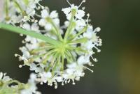 Peucedanum cervaria
