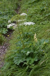 Heracleum sphondylium subsp. pyrenaicum