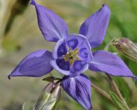 Aquilegia vulgaris subsp. vulgaris