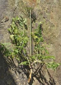 Daucus carota subsp. carota