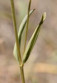 Centaurium quadrifolium subsp. parviflorum