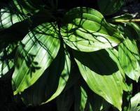 Gentiana burseri subsp. burseri