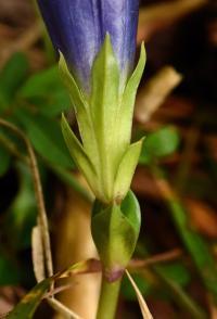 Gentiana occidentalis