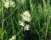 Thalictrum flavum subsp. flavum