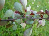 Berberis vulgaris