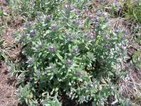 Lithospermum incrassatum