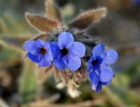 Alkanna tinctoria subsp. tinctoria
