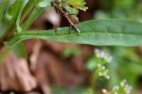 Cynoglossum germanicum