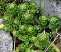 Teucrium pyrenaicum subsp. pyrenaicum
