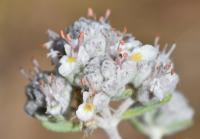 Teucrium capitatum (T.grupo polium)