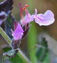 Teucrium chamaedrys subsp. pinnatifidum