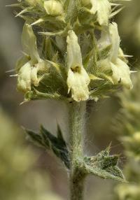 Sideritis spinulosa