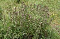 Ballota nigra subsp. foetida