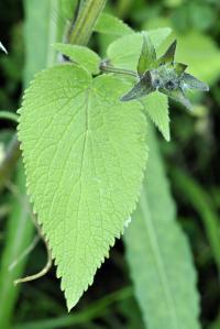 Stachys alpina subsp. alpina