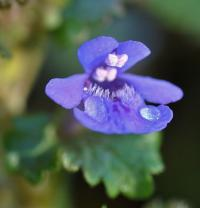 Glechoma hederaceae