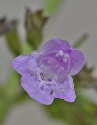 Satureja menthifolia