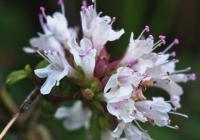 Origanum vulgare subsp. virens