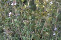 Thymus zygis subsp zygis