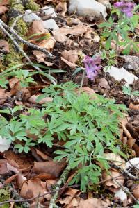 Corydalis cava subsp. cava
