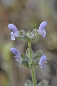 Salvia verbenaca subsp. verbenaca