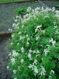 Pseudofumaria alba subsp. alba