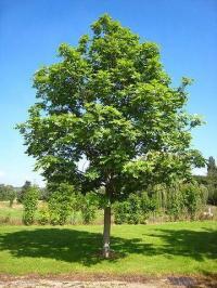 Fraxinus excelsior subsp. excelsior