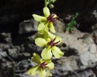 Verbascum chaixii subsp. chaixii