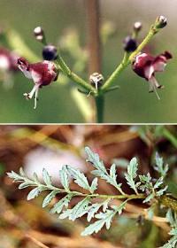 Scrophularia canina subsp. canina