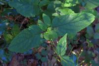 Scrophularia alpestris