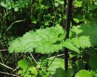 Scrophularia scorodonia