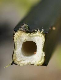 Scrophularia balbisii subsp balbisii