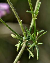 Antirrhinum barrelieri