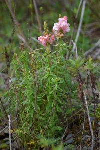 Antirrhinum majus subsp majus
