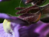 Chaenorhinum origanifolium susp. origanifolium