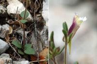 Chaenorhinum rubrifolium subsp. rubrifolium