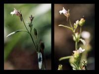 Chaenorhinum minus subsp. minus