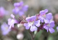 Chaenorhinum serpyllifolium subsp. serpyllifolium